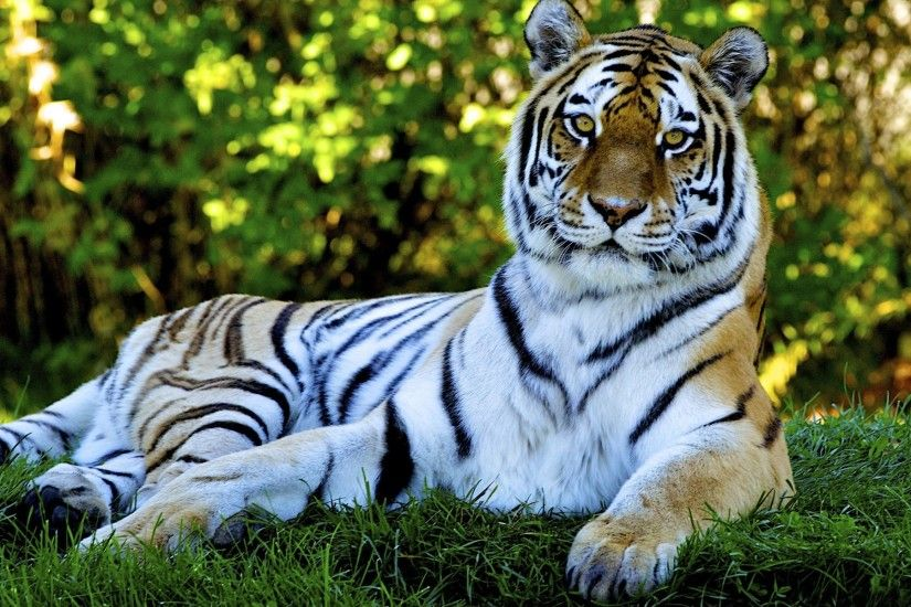 Animated Nature Wallpapers For Desktop Tiger desktop backgrounds