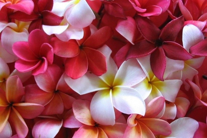 Earth - Frangipani White Flower Nature Flower Plumeria Colors Red Flower  Wallpaper