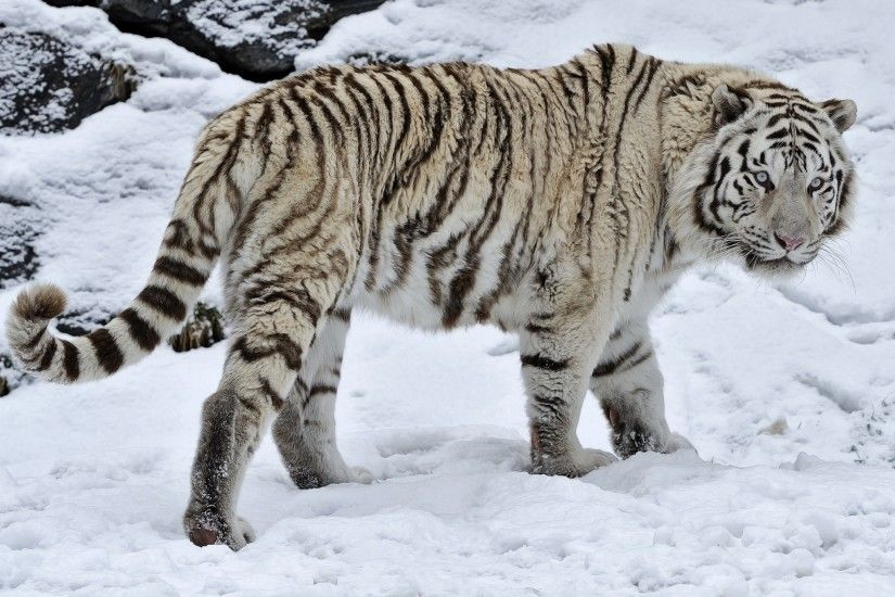 White tiger tiger wild cat snow winter wallpaper | 2048x1363 | 210750 .