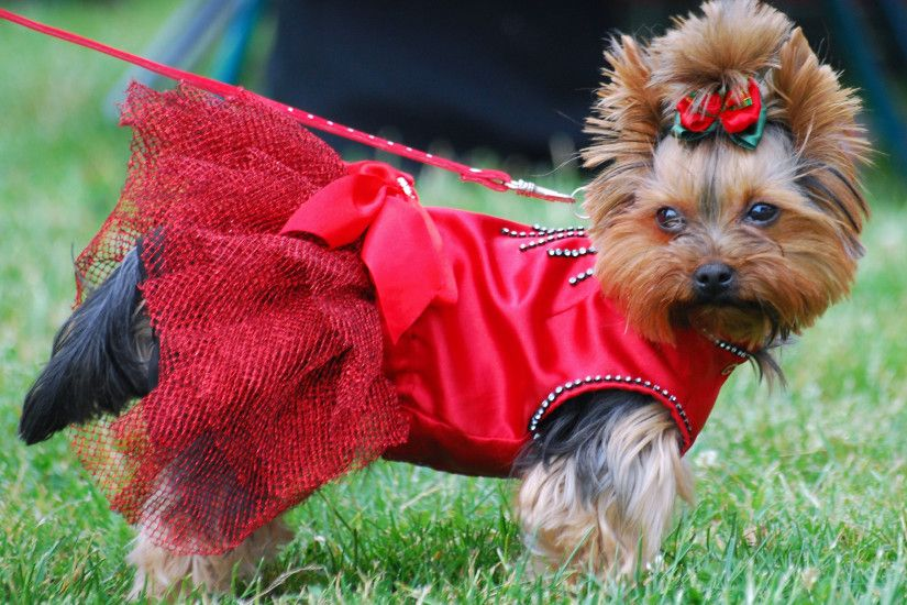 Yorkshire Terrier dog in the red dress photo