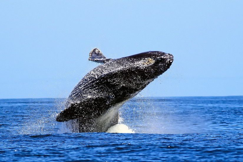 whale animal desktop wallpaper 52958
