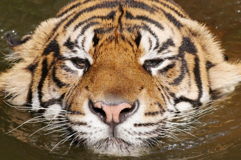 tiger, face, swim