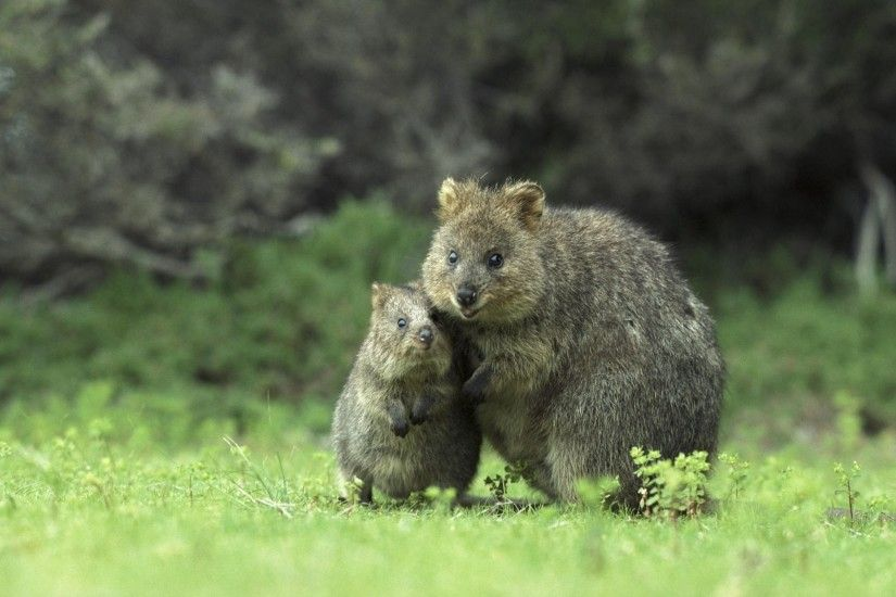 Quokka widescreen wallpapers Quokka Pictures