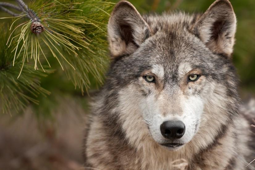 amazing wolf wallpaper 1920x1080 download