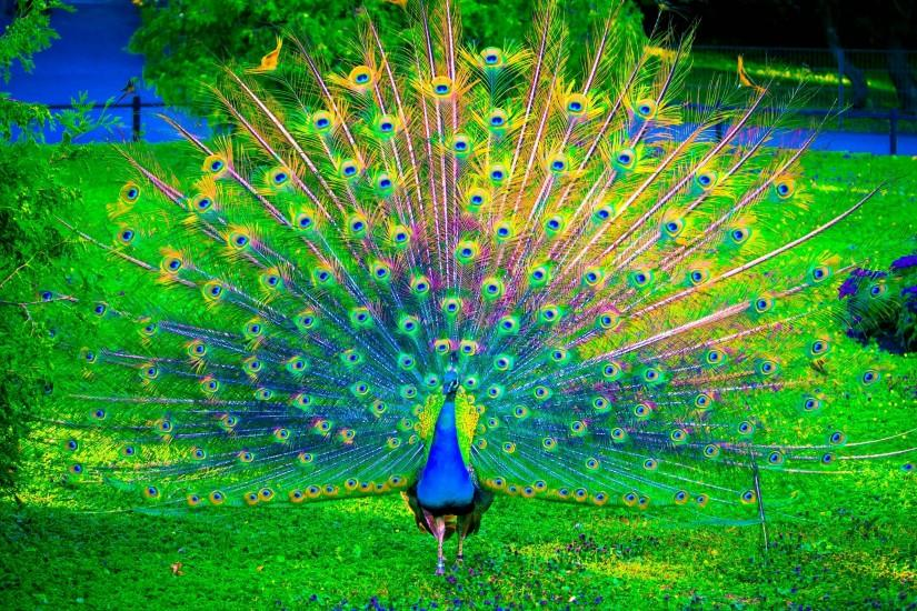 colorful peacock wallpapers high definition with high resolution wallpaper  desktop on animal category similar with baby
