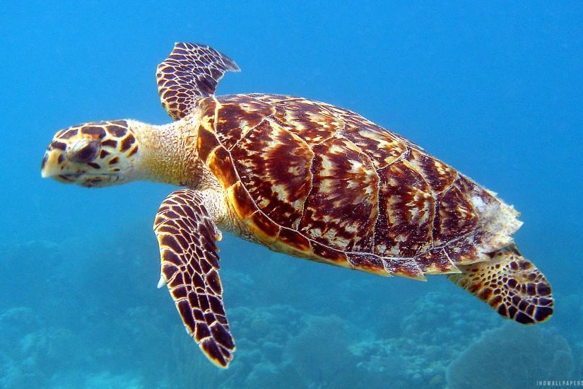 Download Underwater Sea Turtle wallpaper .