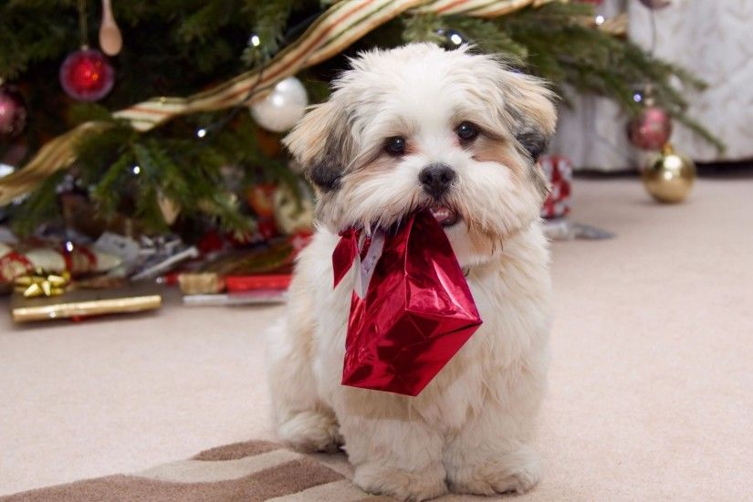 Desktop hd shih tzu puppy photos 3d hd pictures.