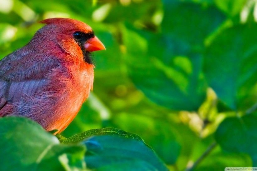 "1600x900 Red Birds Wallpapers Entertainment Only Desktop Background"">"