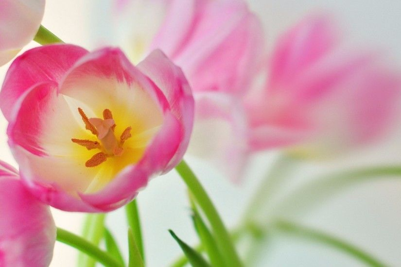 Related to Beautiful Pink Tulips 4K Wallpaper