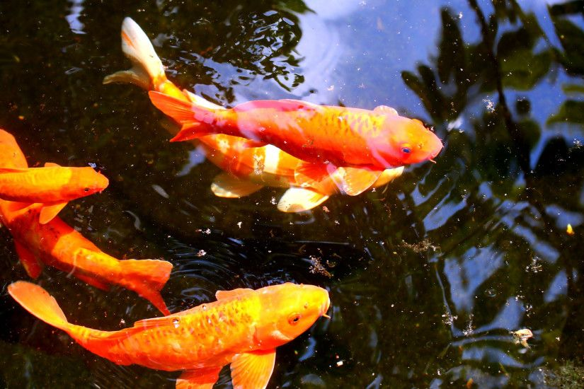 koi fish wallpaper. Wallpapers 3d for desktop, 3d pictures