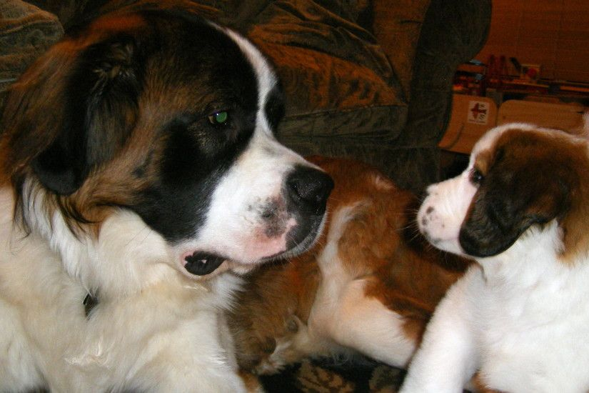 1000+ images about Stunning St. Bernards on Pinterest