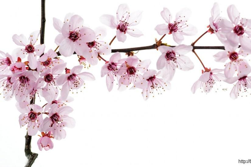 cool cherry blossom wallpaper 1920x1080 photos