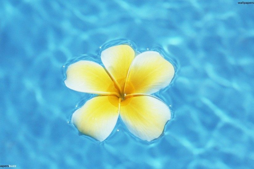 Hawaii Flower Images Long Wallpapers