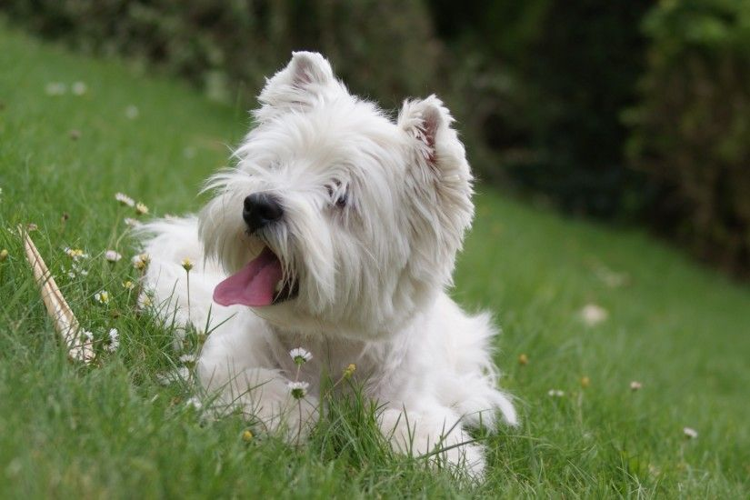 Pics Photos - West Highland White Terrier Hd Wallpaper