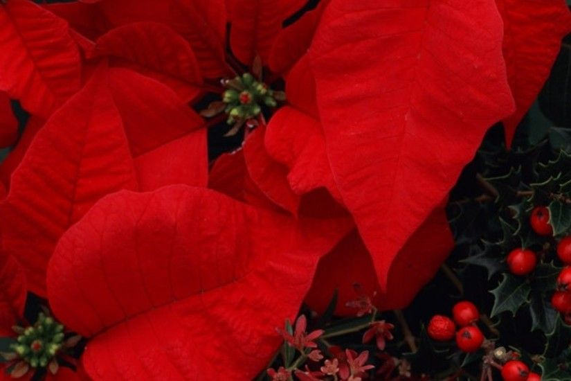 3840x1200 Wallpaper poinsettia, flowers, red, berries, composition, beauty