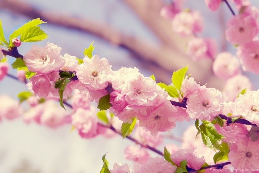 870437 Pink Flowers Wallpapers