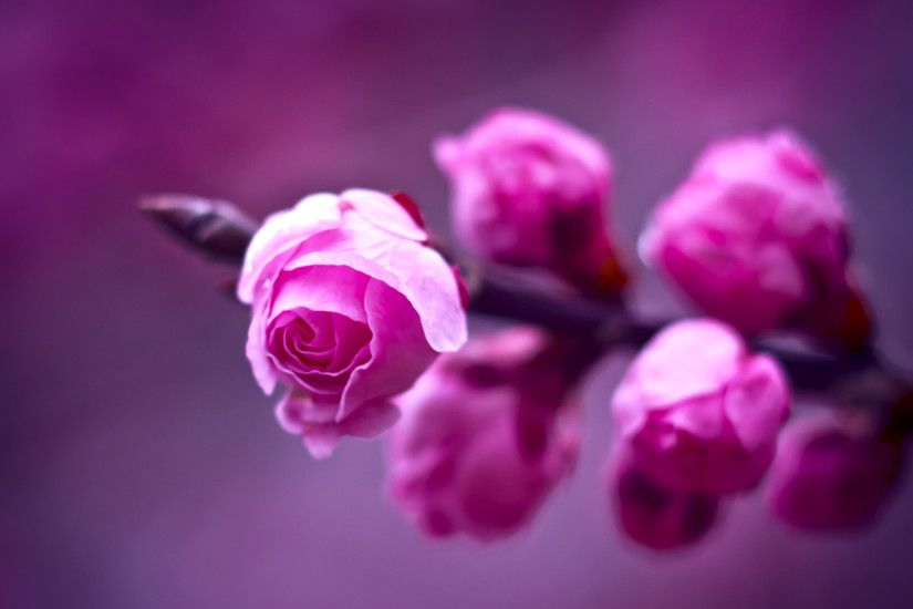 Purple · Purple Roses Wallpaper ...