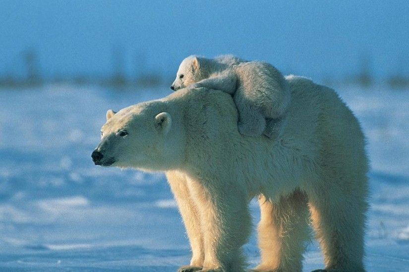 Polar bear HD Wallpapers 4