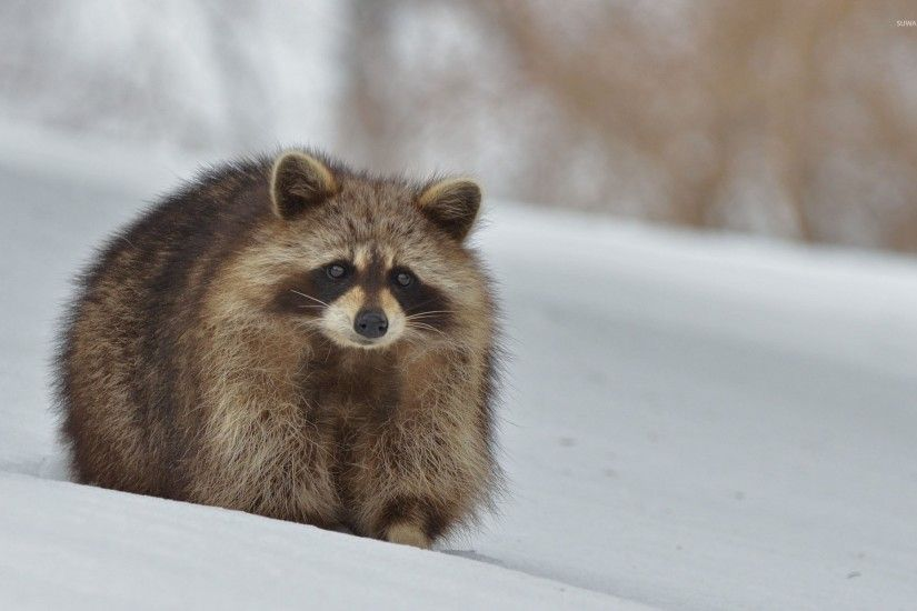 Raccoon in the snow wallpaper 1920x1200 jpg