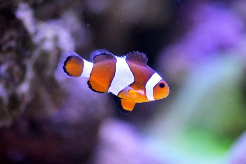 Clownfish Picture, Clownfish Desktop Wallpaper, Free Wallpapers .