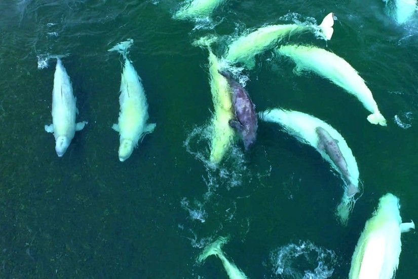 Eye in the sky over the endangered belugas in the St. Lawrence