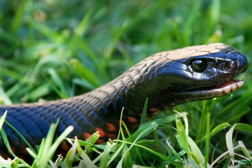 Animal / Red-bellied Black Snake Wallpaper