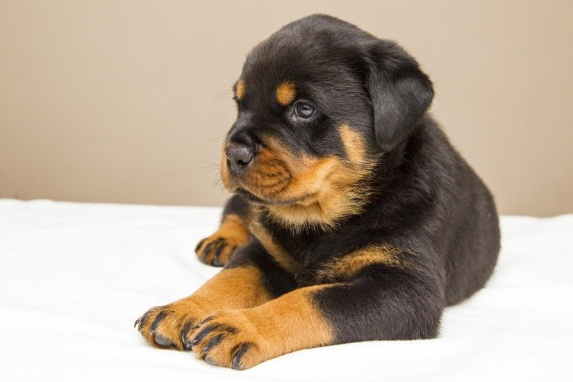 Rottweiler Puppy HD Desktop Wallpaper