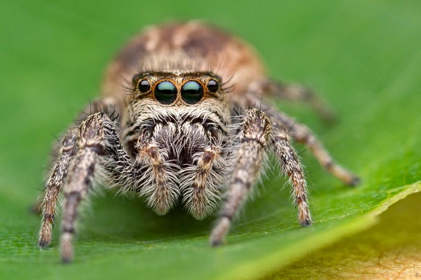 focus photography of grey of brown and white spider, jumping spider