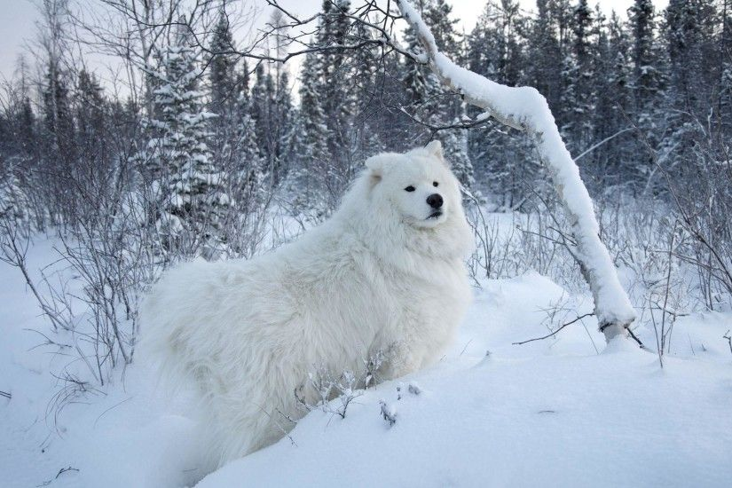 HD Samoyed getting lost in the snow Wallpaper