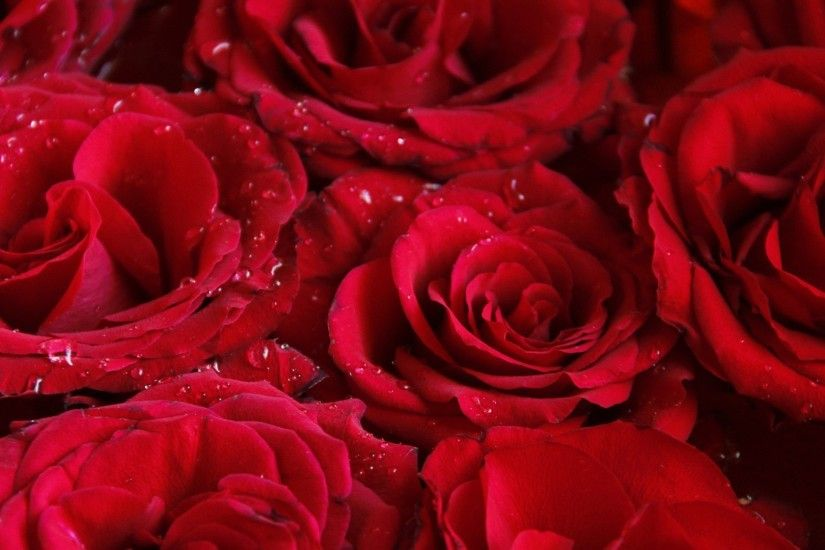 1920x1080 pretty red roses HD wallpapers - desktop backgrounds
