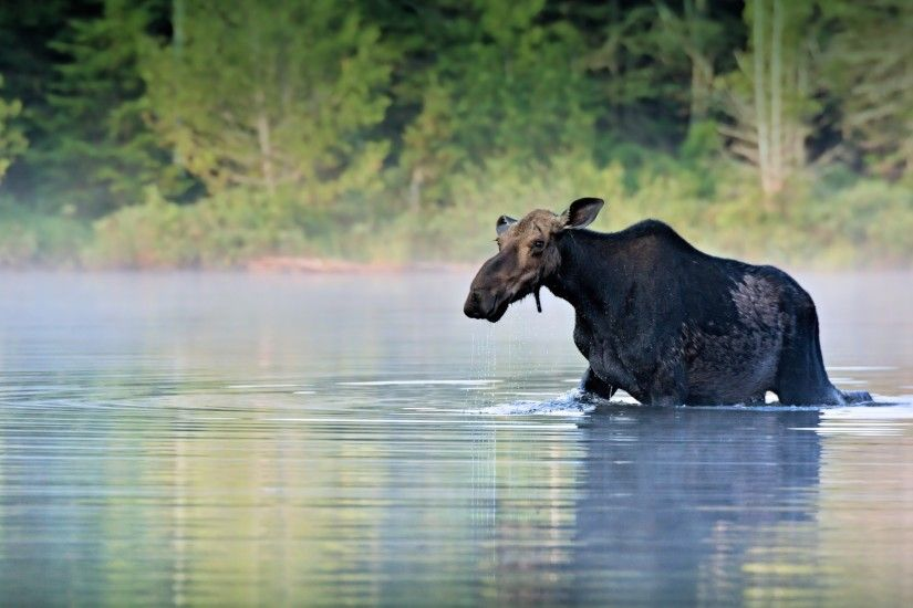 2560x1440 Wallpaper moose, water, river, walk