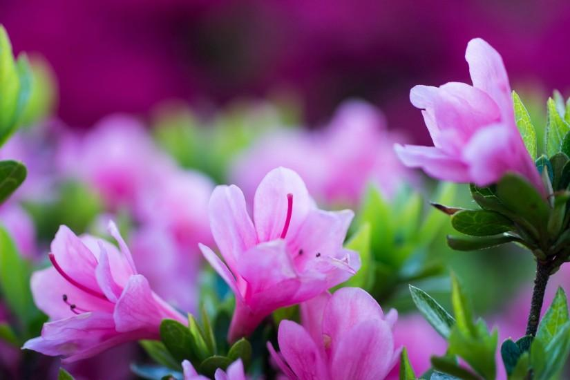 Pink Flowers Background Wallpaper