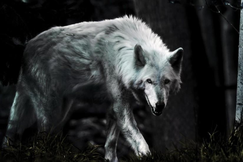 Wolf HD Wallpapers Backgrounds Wallpaper 900×598 Lone Wolf Wallpapers (38  Wallpapers) |