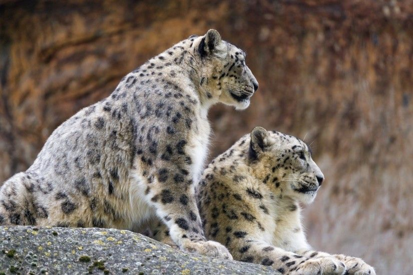 snow Leopards, Animals, Wildlife, Profile, Stones Wallpapers HD / Desktop  and Mobile Backgrounds