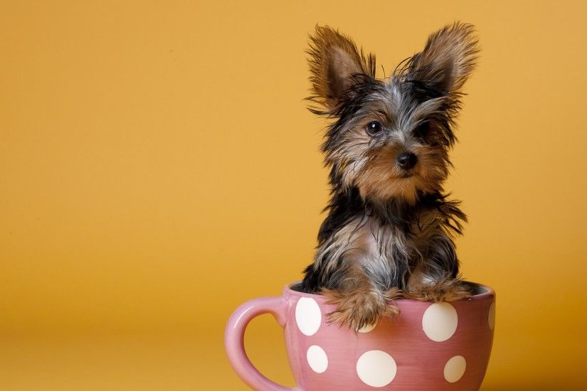 3840x2160 Wallpaper yorkshire terrier, cup, puppy, dog, sit
