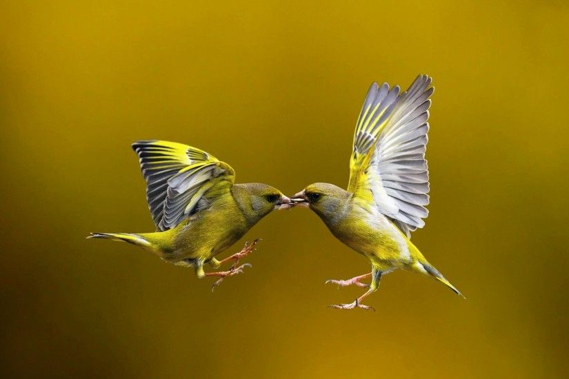 wallpaper.wiki-Birds-are-kissing-most-beautiful-amazing-