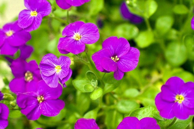 ... Full HD Purple Flower HD Background ...