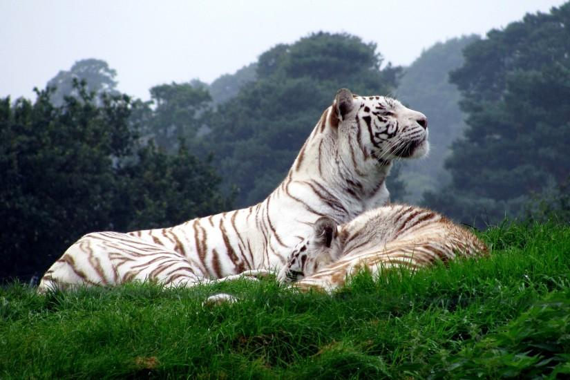 White tigers Wallpapers Pictures Photos Images. Â«