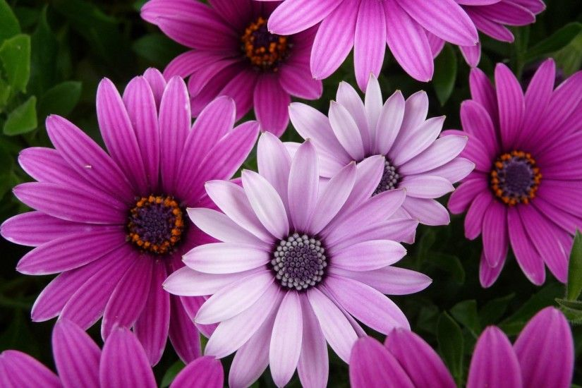 purple and pink flower wallpaper. Â«Â«