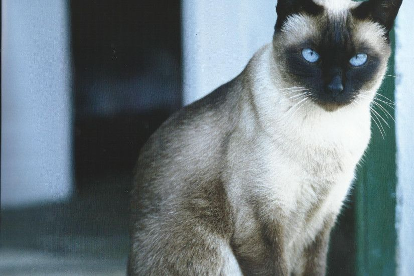 Amazing Siamese Cat Desktop Wallpapers - This Wallpaper and Siamese Cats Nz