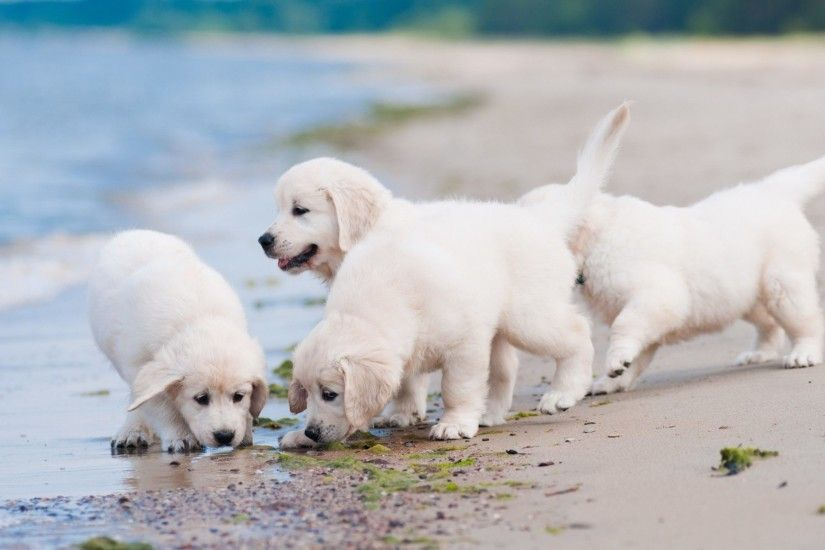 ... Golden Retriever Puppies Wallpaper