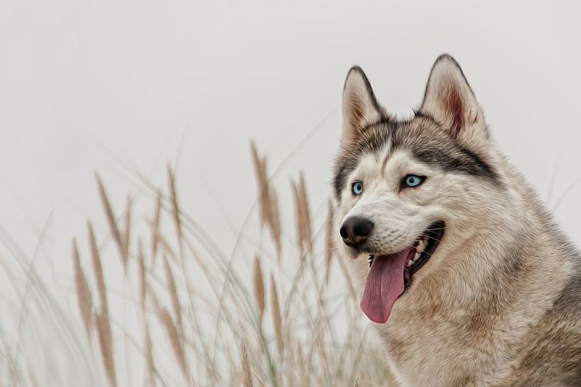 Siberian Husky Wallpaper HD 1176