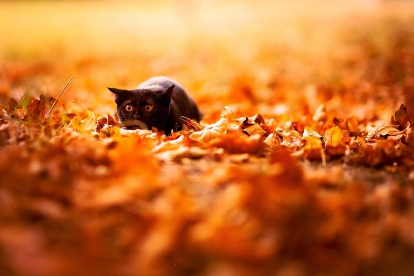 Black Cat Sit In Leaves HD Wallpaper Free Download