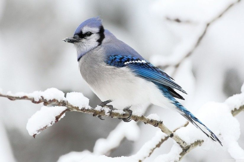 Animal Bird Blue Jay Wallpaper