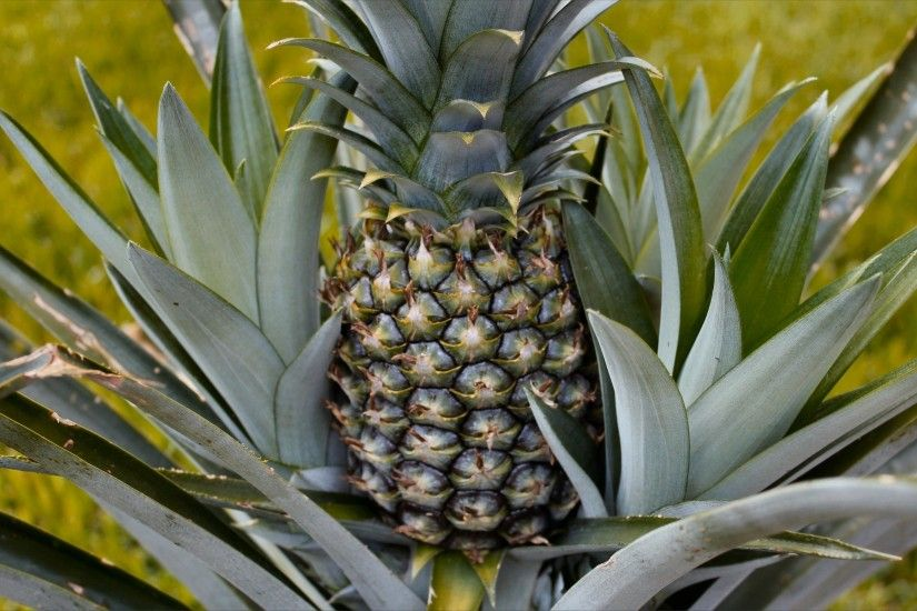 Wonderful, Pineapple, Widescreen, High, Definition, Desktop, Wallpaper,  Background, Pictures, Free, Download Wallpapers, Amazing Pictures, Artwork,  ...