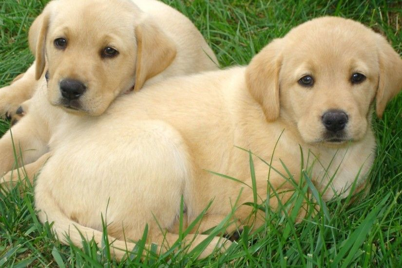 "Search Results for ""free labrador puppies wallpapers"" – Adorable Wallpapers"