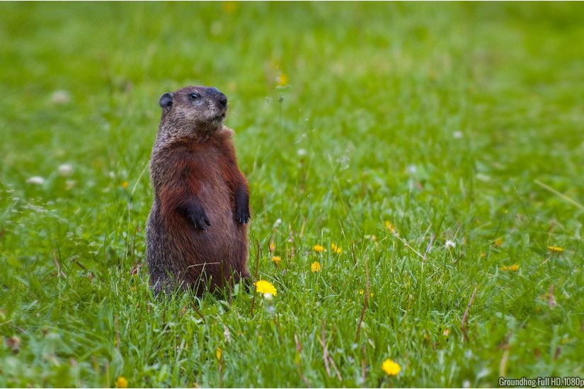 Download Wallpaper 1920x1080 Groundhog, Rocks, Grass, Animal Full .