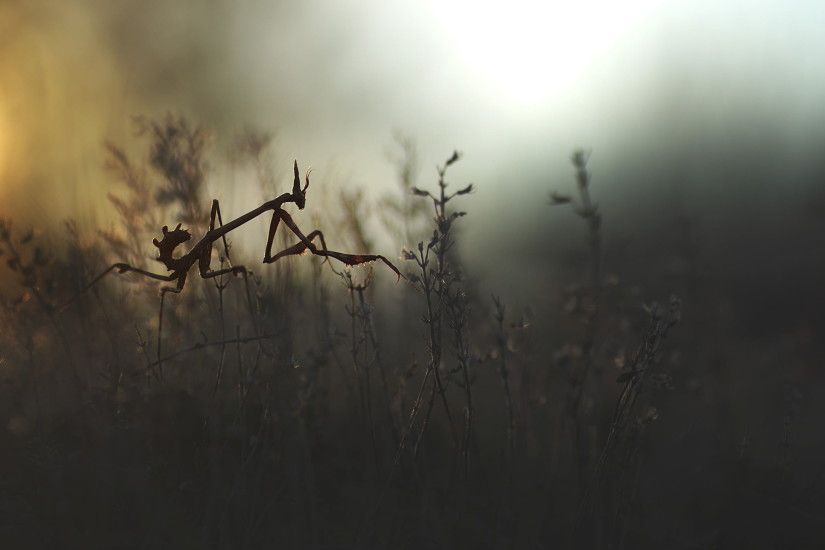 gray praying mantis, insect, nature, mantis, empusa HD wallpaper