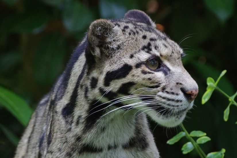 3840x2160 Wallpaper clouded leopard, wild cat, predator
