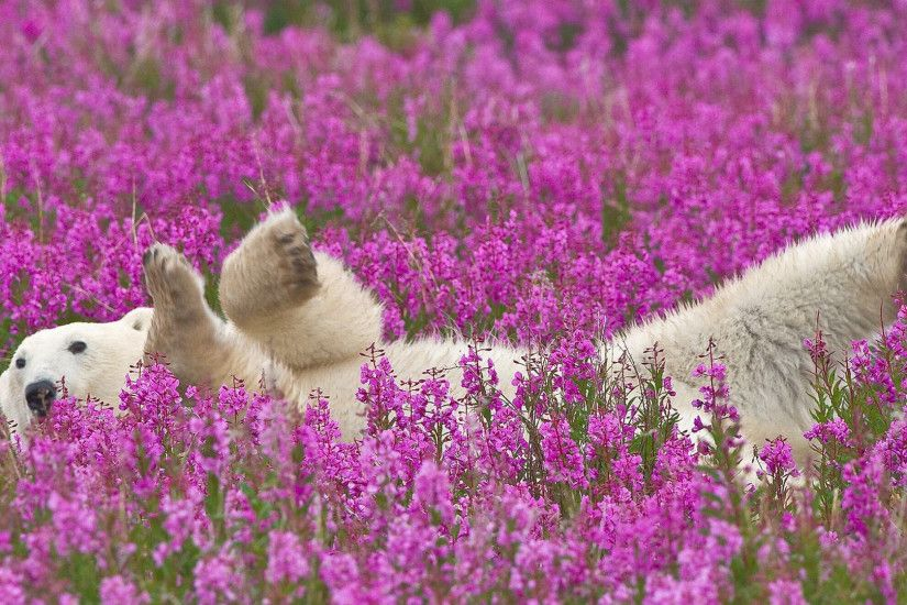 1920x1080 Wallpaper polar bear, flowers, lie down, baby